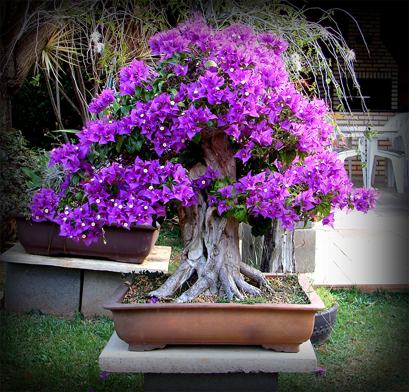 bougenvillea_bonsai